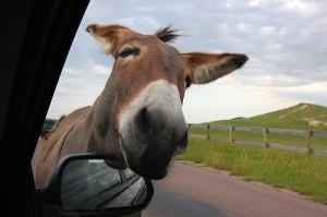 Begging burro.